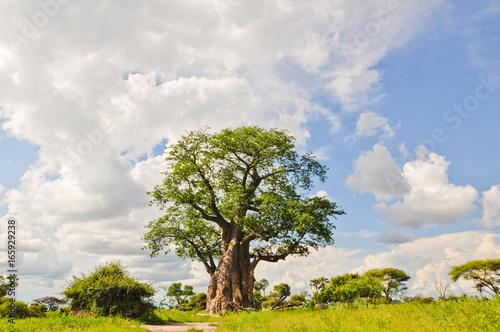Fotografie, Obraz Baobab Tree
