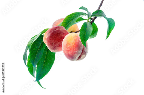 Bunch of ripe peaches on the branch with leaves, isolated on white background. Clipping path included.