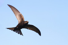 Common Swift Flies Against The Sky