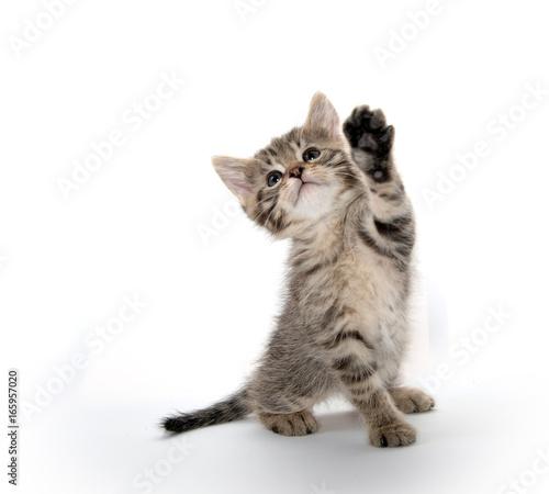 Cute tabby kitten lifting its paw Canvas Print