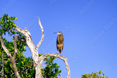 Bare Throated Tiger Heron in Tree in Rio Lagartos Poster