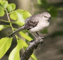 Northern Mockingbird Perched On Twig