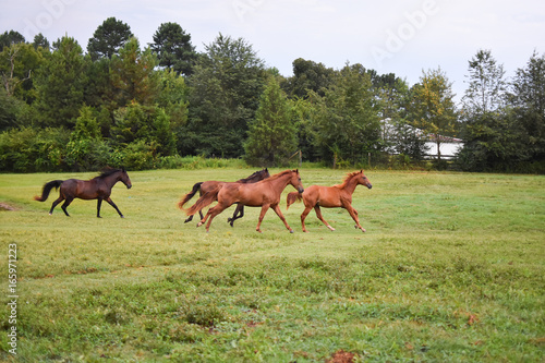 Photo  Small herd of horses running in a pasture