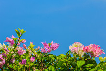 Pink And White Blooming Bougainvilleas Against The Blue Sky In Summer