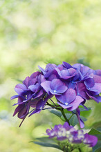 Background Of Deep Purple Hydrangea Flowers With Bright Green Background/Deep Purple Hydrangea Flowers With Yellow Green Bokeh Background