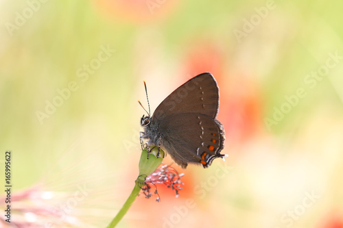 Foto op Aluminium Vlinders in Grunge Satyrium Ilicis. Close up of butterfly in nature.