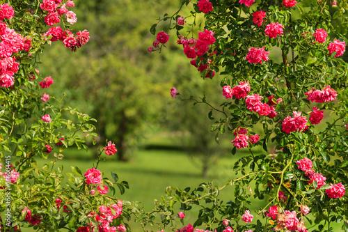 Cadres-photo bureau Jardin pink roses in the summer garden