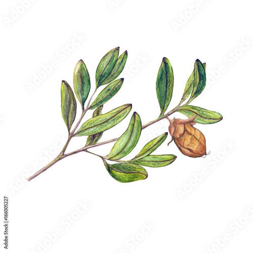 Fotografie, Obraz  Watercolor isolated illustration of jojoba branch