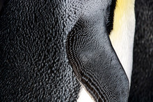 King Penguin Feather Side Clos...