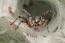 Agelena Labyrinthica - Spider