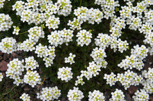 Hutchinsia Alpina Many White Flowers With Green