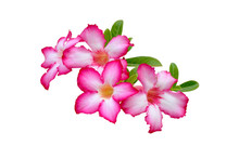 Desert Rose ( Impala Lily; Mock Azalea) Isolated On White Background