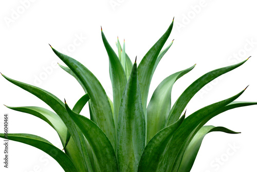 agave isolated on white background Canvas Print