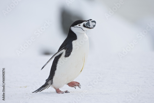 Fotobehang Pinguin Chinstrap penguin (Pygoscelis antarctica) with stones for nest building at a colony on Half Moon Island, Antarctica