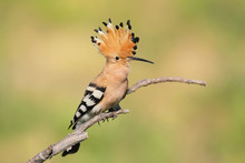 One Hoopoe Sitting On Special Branch.Photographed In Soft Morning Light.