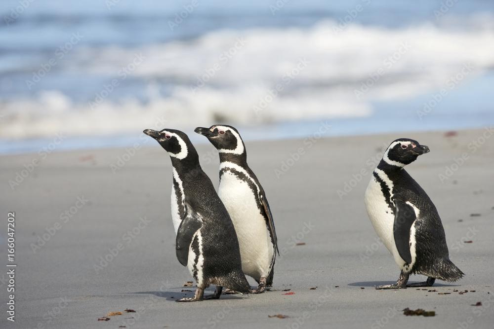 Magellanic penguin (Spheniscus magellanicus) in surf, Falkland Islands, South Atlantic Ocean