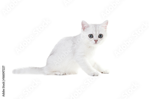 White Kitten British Shorthair Sits Color Silver Shaded Isolated On White Background Buy This Stock Photo And Explore Similar Images At Adobe Stock Adobe Stock