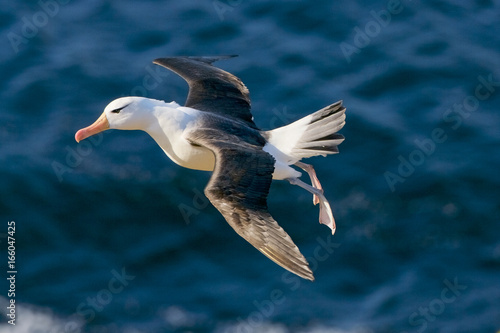 Fotografia, Obraz  Black Browed Albatross (Thalassarche melanofris), Falkland Islands, South Atlant