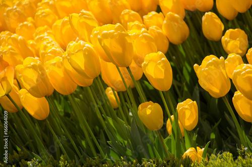 Foto op Plexiglas Tulp Tulips Blooming in Spring
