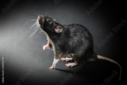 Animal gray rat close-up