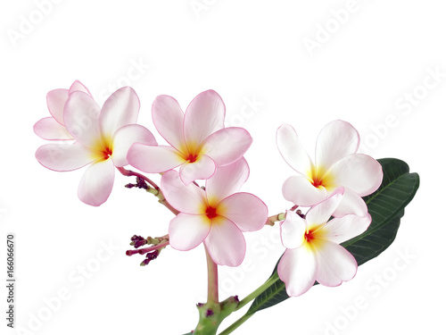 Foto op Canvas Frangipani close up pink plumeria or frangipani flower isolated on white background, tropical flowers bloom summer