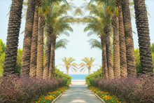 Alley Of Palm Trees Leading From The Sea.