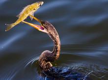 Anhinga With Fish II