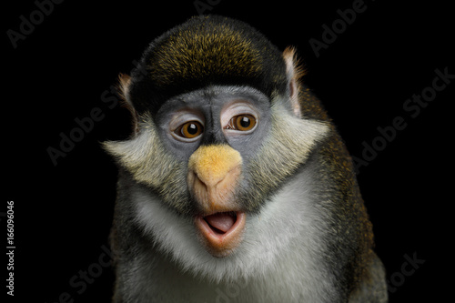 Foto op Plexiglas Aap Portrait of Red tail monkey, or Schmidt's guenon Cercopithecus ascanius ape Isolated on Black Background
