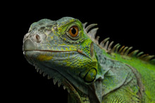 Close-up Head Of Reptile, Youn...