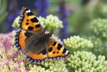 Small Tortoiseshell Butterfly ...