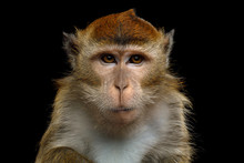 Close-up Portrait Of Angry Long-tailed Macaque Or Crab-eating Monkey On Isolated Black Background