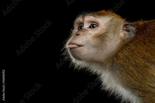 Foto op Plexiglas Aap Close-up Portrait of Funny Long-tailed macaque or Crab-eating Monkey ape, showing tongue on Isolated Black Background