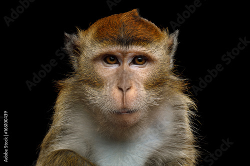 Poster de jardin Singe Close-up Portrait of Angry Long-tailed macaque or Crab-eating Monkey on Isolated Black Background