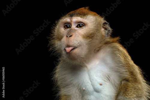 Fotoposter Aap Close-up Portrait of Funny Long-tailed macaque or Crab-eating Monkey ape, showing tongue on Isolated Black Background