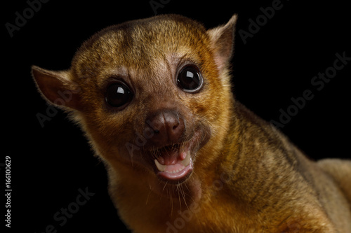 Portrait of Kinkajou, Potos flavus isolated on black background Wallpaper Mural