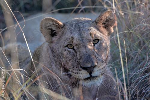 Fototapeta Lion obraz na płótnie