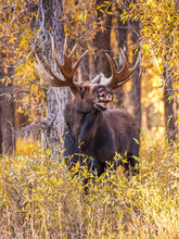 Bull Moose Bellowing