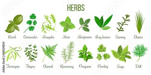 Fényképezés Big set of realistic culinary herbs. sage, thyme, rosemary, basil