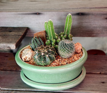 Variety Of Tiny Cactus In A Gr...