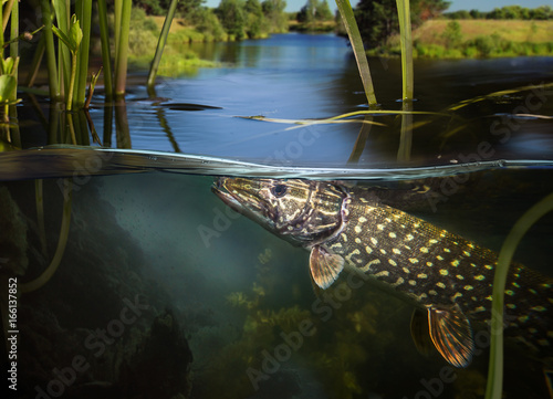 Underwater Pike. Fototapeta