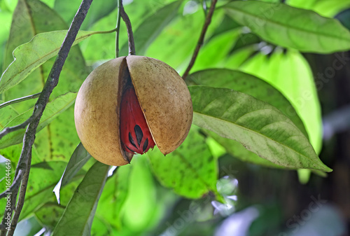 Fototapeta Fully ripe and split nutmeg seed hanging in tree in Kerala, India. Nutmeg is a tropical spice that delivers two distinct flavors. Genus is Myristica. obraz