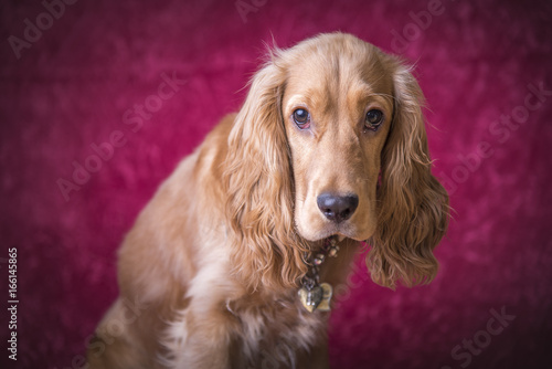 Poster Dog Adorable beige brown cocker spaniel on pink background