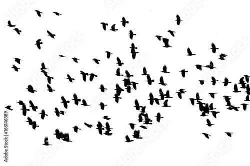 flock of birds black crows flying on the white background isolated sky Canvas Print