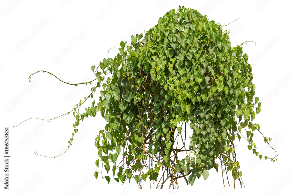 Fototapety, obrazy: Plants ivy,  Climbing wild hanging branches of jungle vines isolated on white background, clipping path.