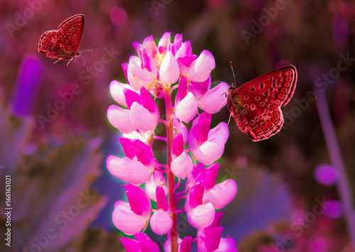 Fototapety, obrazy: Summer landscape. Flower pink lupine red butterfly, closeup, macro.