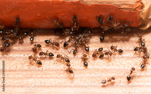 Ants on a wooden background Wallpaper Mural
