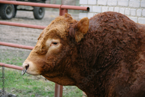 Bull With Nose Ring Buy This Stock Photo And Explore Similar