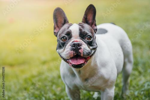 Foto auf Leinwand Französisch bulldog Dog French Bulldog