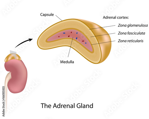 Fotografie, Obraz The adrenal gland, labeled.
