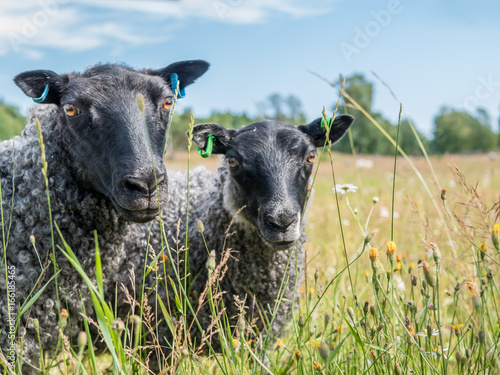 Fotografía  Black sheeps is looking in to camera. On summer grass field.